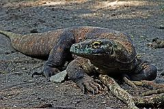 The Comodo Dragon Royalty Free Stock Image