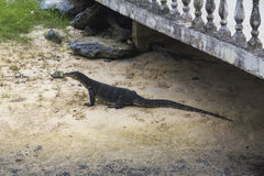 Comodo dragon on the sand, Tioman Island Royalty Free Stock Photos