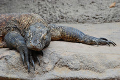 Comodo dragon royalty free stock photography