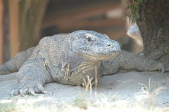 Comodo dragon Stock Photos