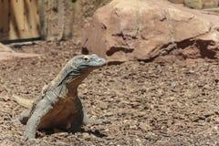 Comodo Dragon in wildlife Royalty Free Stock Image