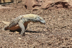 Comodo Dragon Royalty Free Stock Images