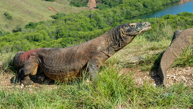 The Comodo dragon (Varanus komodoensis) Royalty Free Stock Photo