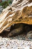 Comodoro bajo la madera Imagen de archivo