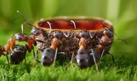 哺养的蚂蚁用甜糖浆 免版税库存照片