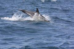 Comon Dolphin Stock Photos