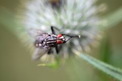 Comon Flesh Fly Sarcophaga Carnaria Royalty Free Stock Images