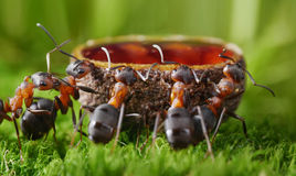 Ants drink sweet syrup Royalty Free Stock Photos