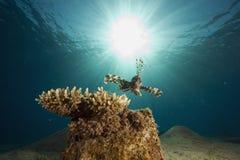 Comon Lionfish (pterois Miles) Stock Photo