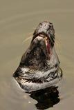 Comon Seal, Phoca vitulina Stock Photography