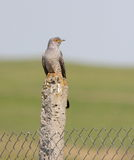 Comoon cuckoo Royalty Free Stock Images