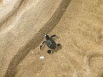 Hatchling Green sea turtles on the beach. Comoros island, moheli itsamia baby, new born out ouf the egg green marine turtle chelonia mydas , reproductive season royalty free stock photos