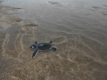 Hatchling Green sea turtles on the beach. Comoros island, moheli itsamia baby, new born out ouf the egg green marine turtle chelonia mydas , reproductive season stock image