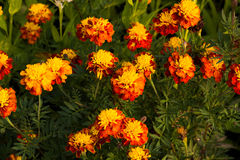 Comos flower. Beautiful tropical flowers and filled with the color Stock Images