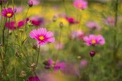 Comos flower Stock Image