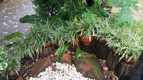 Comosum Anthesicum Vittatum de Cholorophytum da planta de aranha Fotografia de Stock Royalty Free
