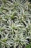 Comosum Chlorophytum или завод паука Стоковое фото RF
