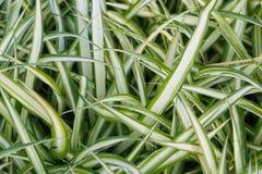 Comosum Chlorophytum, предпосылка завода паука Стоковое Изображение