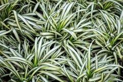 Comosum de Chlorophytum ou usine d'araignée Photographie stock