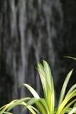 Comosum L, foglia verde di Chlorophytum nel giardino dei tropici del orna Immagini Stock