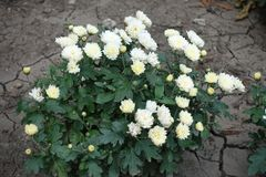 Compact bush of white Chrysanthemums. In bloom stock images