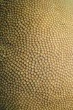 Compact coral, diploastrea heliopora Royalty Free Stock Photo