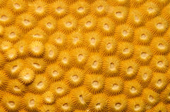 Compact coral texture Royalty Free Stock Photography