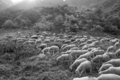 Free Compact Flock Of Sheep Walking And Eating In The Pasture Stock Photo - 133470310