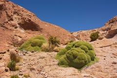 Compacta di Yareta Azorella su Altiplano in Bolivia Fotografia Stock Libera da Diritti