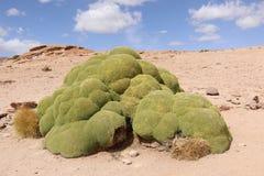 Compacta Yareta oder Llareta Azorella ist ein Eingeborenes der blühenden Pflanze nach Südamerika stockfotografie