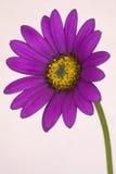 Compactum do jucundum de Osteospermum Fotografia de Stock Royalty Free