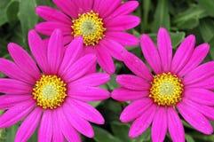 Compactum ?montaña púrpura? de las variedades de los barberiae de Osteospermum Imágenes de archivo libres de regalías