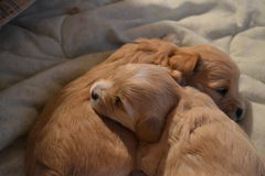 Compagni addormentati del cucciolo immagini stock libere da diritti
