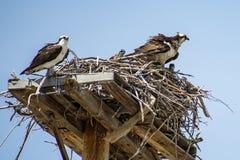 Compagni del falco pescatore e due piccoli uccellini implumi fotografia stock