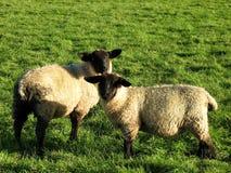Compagni dell'agnello Fotografie Stock