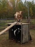 Compagni della capra Fotografia Stock