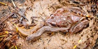 Compagni di letto anfibi accoglienti su nella sabbia fotografia stock