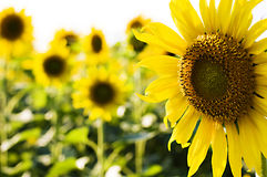 Compagnie de tournesol images stock