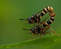 Compagno della mosca di quadrifasciatus di Conops fotografie stock