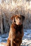 Compagno di caccia Fotografie Stock