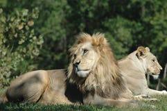 Compagnons de lion Images stock