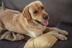 Companheiro animal que parte que descansa no sofá imagem de stock royalty free