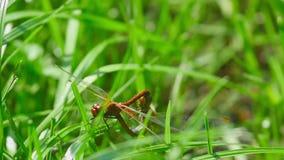 Companheiro vermelho das libélulas filme