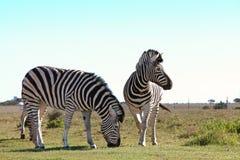 Companheiros da zebra Foto de Stock Royalty Free