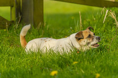 Companion Animals - Dogs Royalty Free Stock Photos
