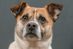 Companion Animals - Dogs. Close up portrait of a attentive cross breed dog against a grey background Royalty Free Stock Photo