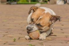 Companion Animals - Dogs Stock Image