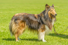 Companion Animals - Dogs Royalty Free Stock Images