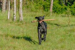 Companion Animals - Dogs Stock Photo