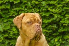 Companion Animals - Dogs Royalty Free Stock Photos